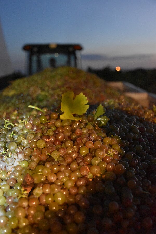 Night Harvest at Diamante Doble Vineyard