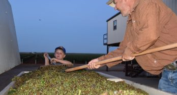 Raking the grapes in the bins at Diamante Doble Vineyard
