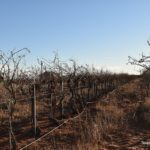 Pruning is the Key to it All at Canada Family Vineyard