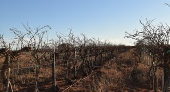 Canada Family Vineyard vines needing pruning
