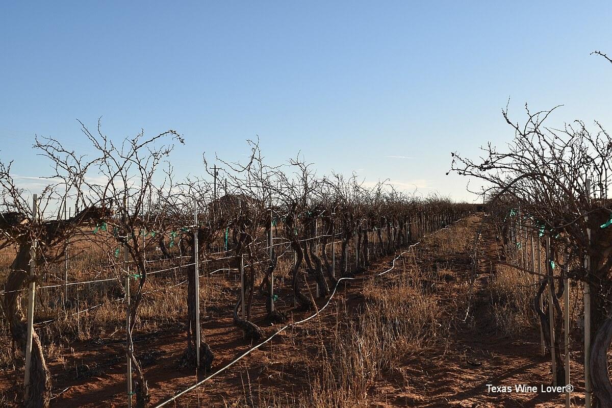 Canada Family Vineyard vines needing pruning