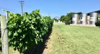 Early Summer Vineyard Tasks