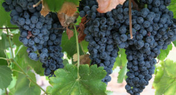 Messina Hof grapes