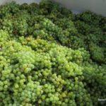 Wild Stallion Vineyards Harvest Day