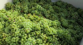 Wild Stallion Blanc du Bois grapes