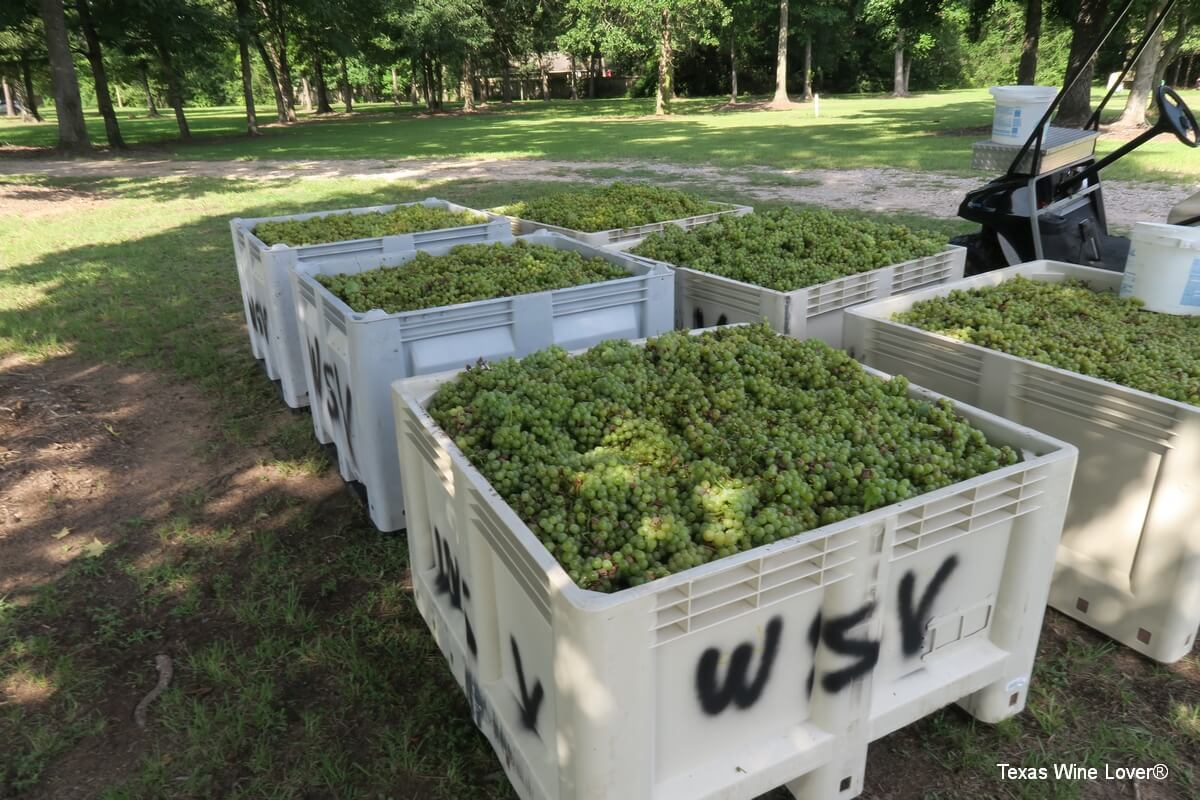 Wild Stallion grapes after harvesting