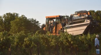 Texas High Plains Grape Harvest Going Strong