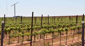 Texas High Plains Vineyards, Part One, August 2018