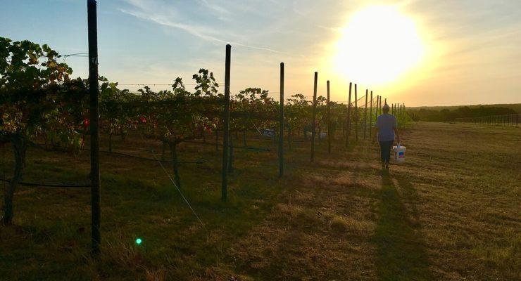 Pedernales estate harvest at Kuhlken Vineyards
