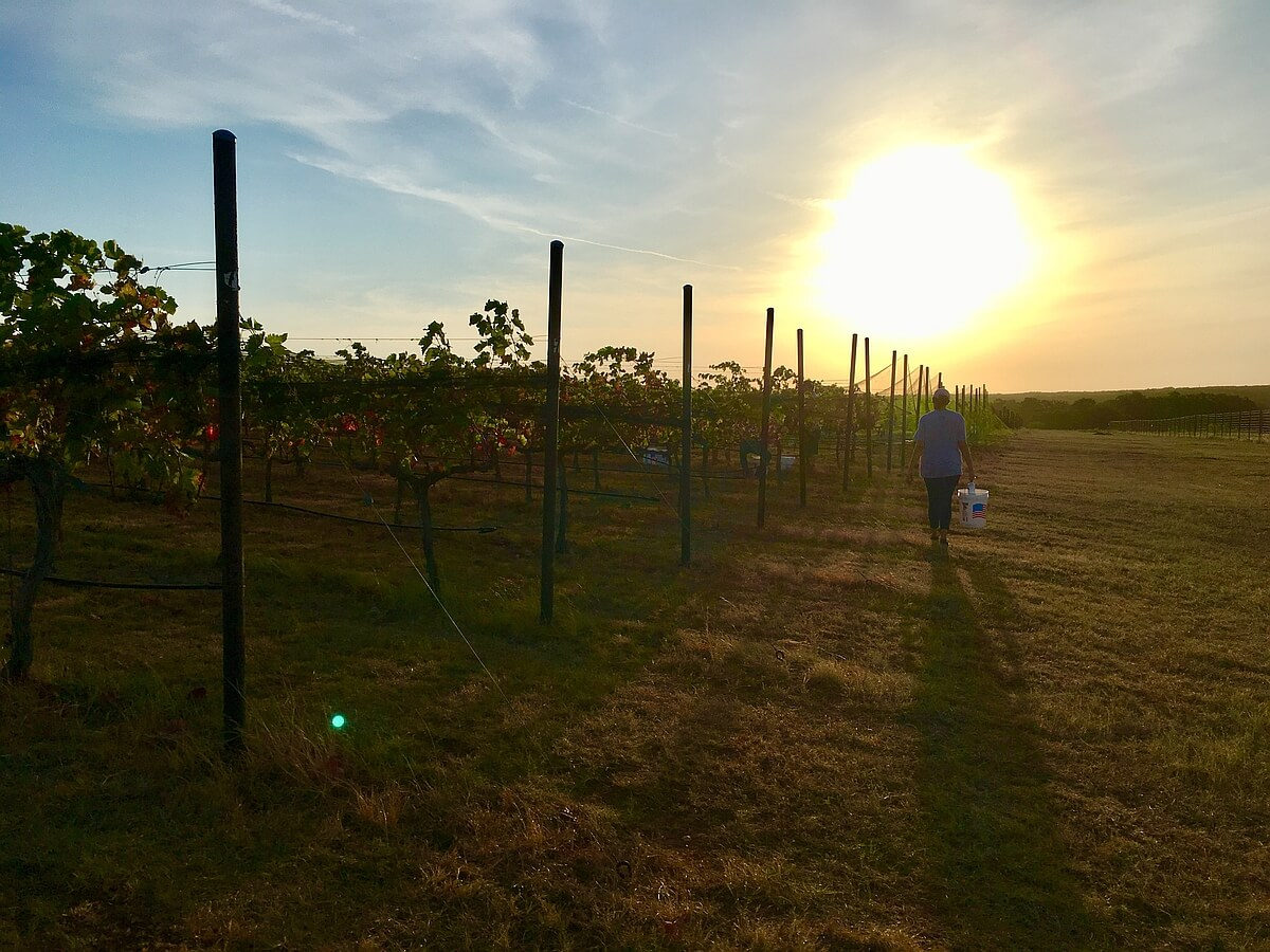 Pedernales estate harvest at Kuhlken Vineyards
