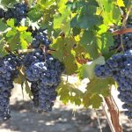 New Pierce's Disease Resistant Grapevines Announced