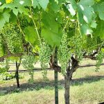 Less Recognizable Grape Varieties in Texas and Their Unfamiliar Pronunciations