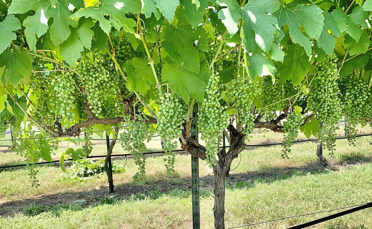 Texas Hill Country vineyards are well on their way to a productive harvest in vintage 2020