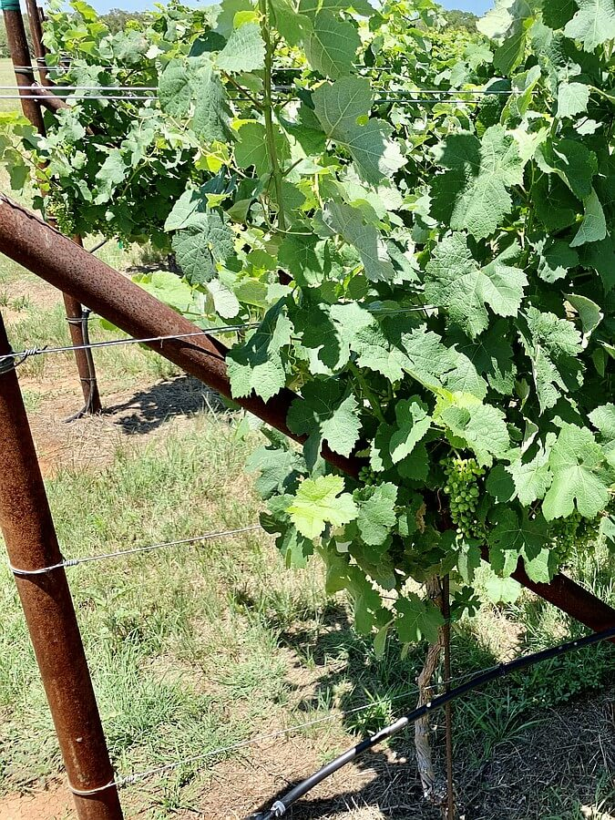 Clairette Blanche grapes beginning to develop at Ab Astris Winery, Texas Hill Country