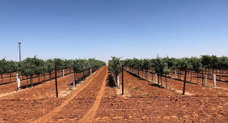 Manicured THP Vineyard